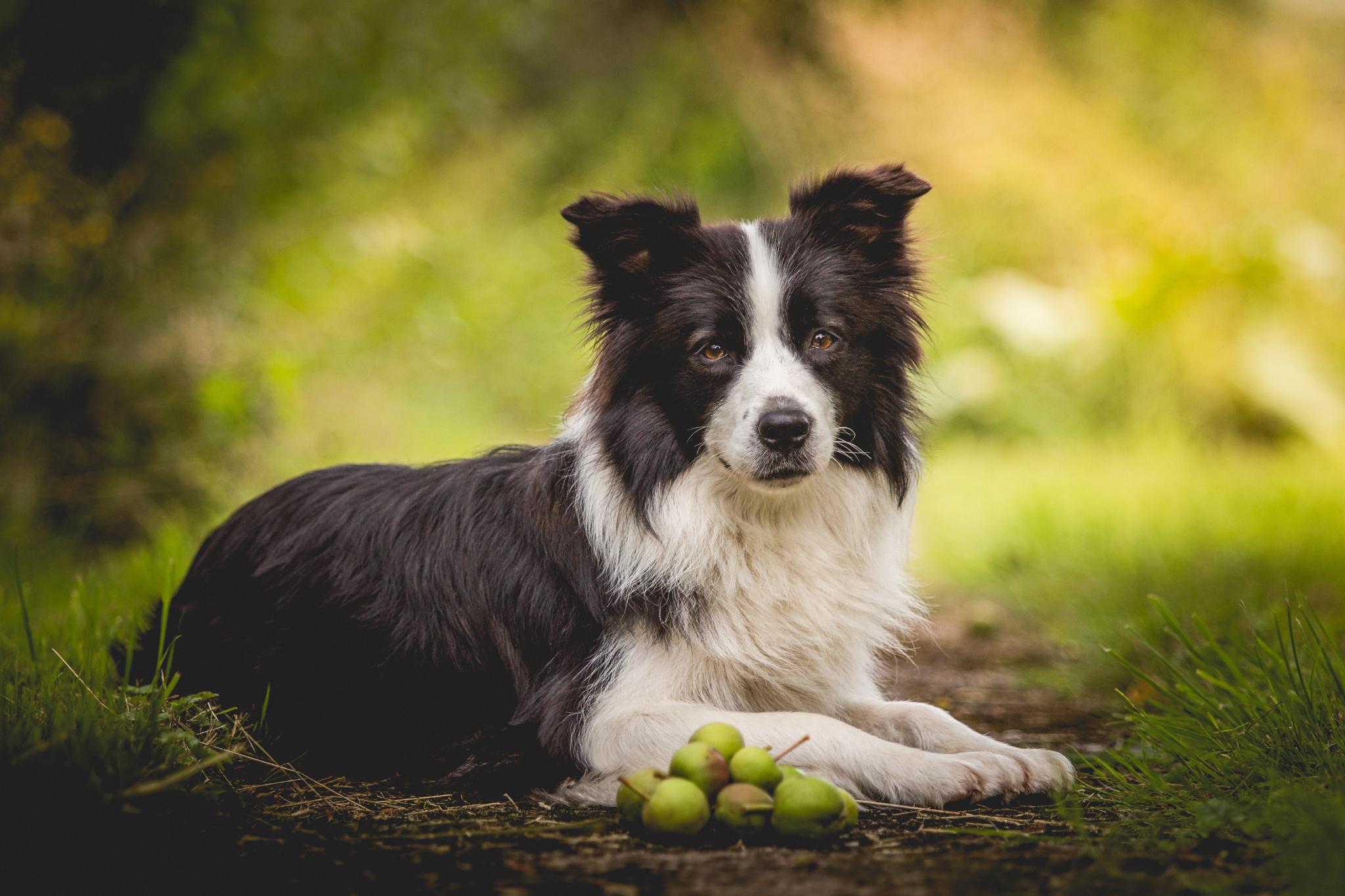 Border Collie Hündin Ida mit grünen Äpfeln