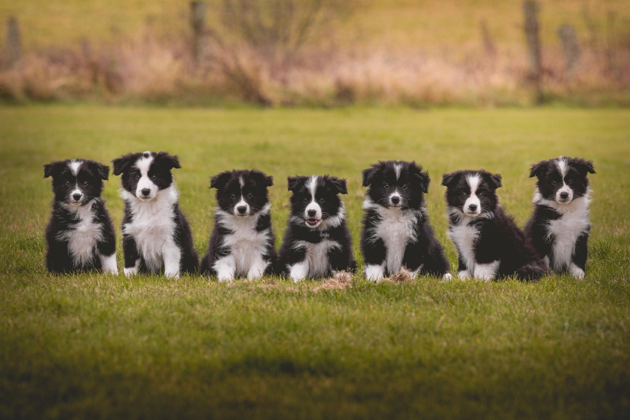 Gruppenfoto von sieben schwarz-weißen Border Collie Welpen aus VDH-Zucht.