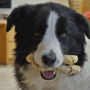 Border Collie kaut Knochen