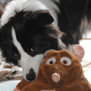Junger Border Collie mit Spielzeug