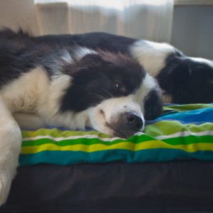 Border Collies im Bett
