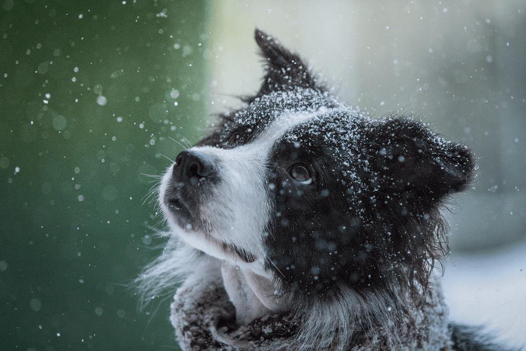 Border Collie Hündin Ida im Schneegestöber