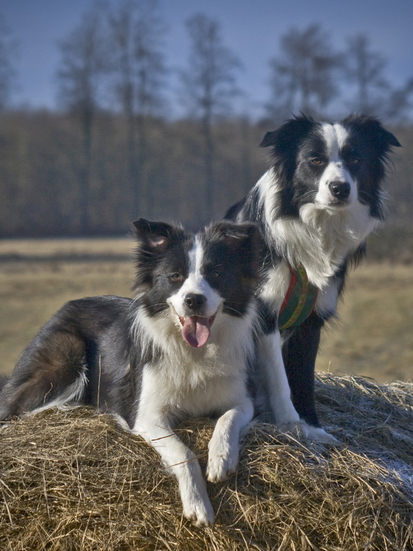 Zwei Border Collie Hündinnen