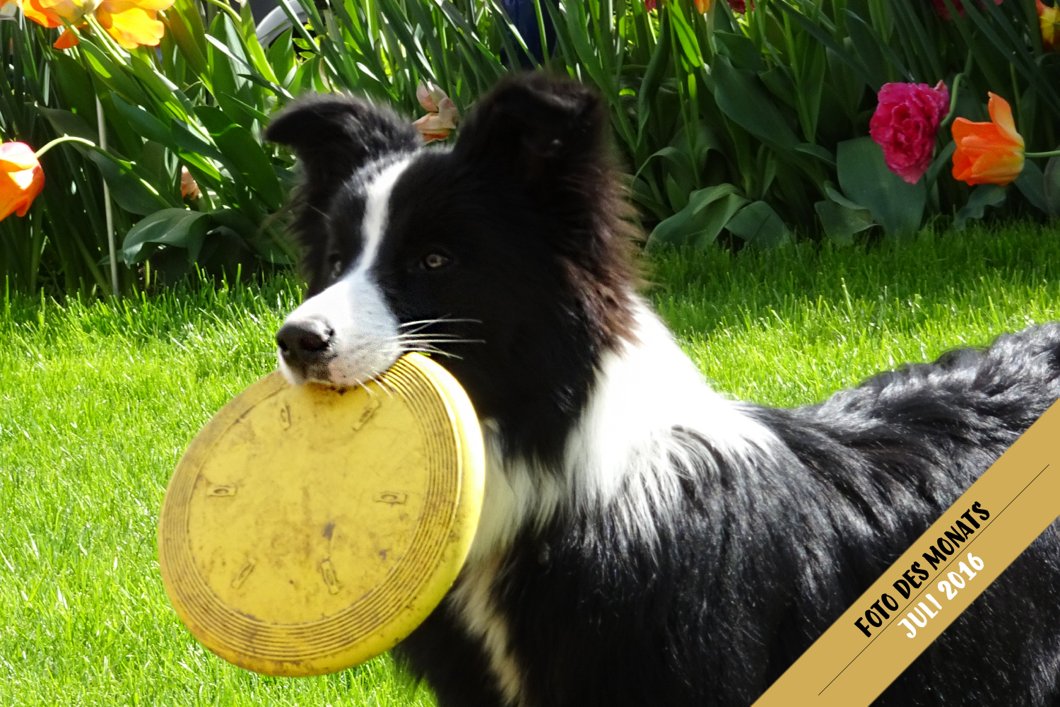 Foto des Monats: Fly (Broadmeadows Cornflake Girl) mit Frisbee