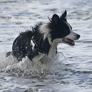 Urlaub mit Hund in Dänemark, Border Collie badet im Meer