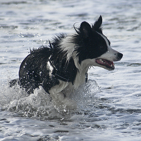 Hund<em>Border-Collie</em>Urlaub_Daenemark-4