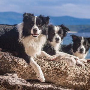 Urlaub mit Hund in Kroatien auf der Insel Brac, Border Collies am Strand