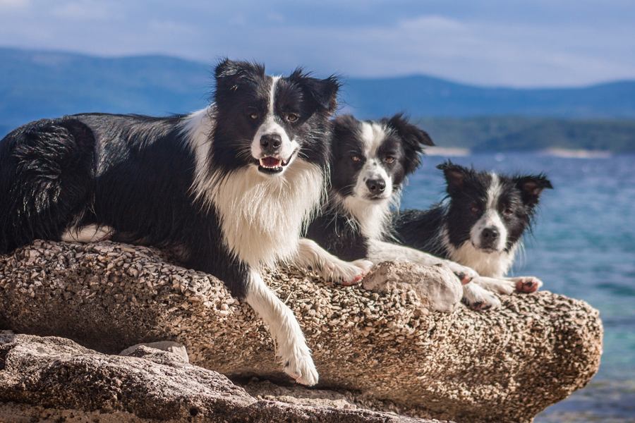 Hund<em>Border-Collie</em>Urlaub_Kroatien