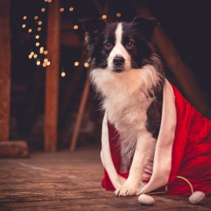 Broadmeadows Border Collies Adventskalender