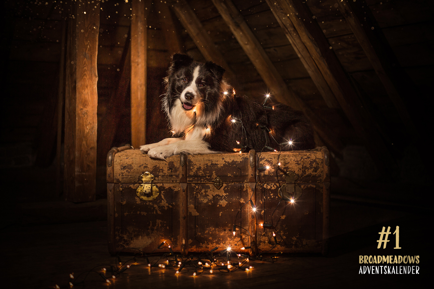Broadmeadows Border Collies Adventskalender – No. 1: »Buddy« (Broadmeadows Body and Soul)
