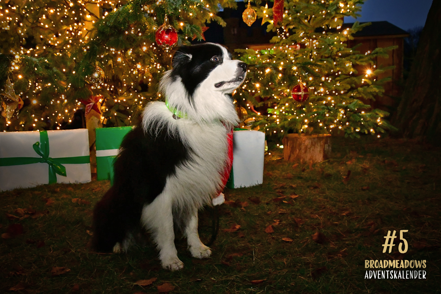 Broadmeadows Border Collies Adventskalender – No. 5: »Joey« (Broadmeadows Black Diamond)