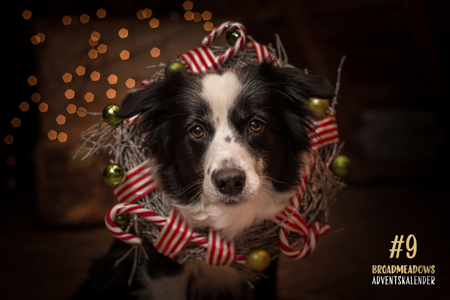 Broadmeadows Border Collies Adventskalender – No. 9: »Nell« (On My Own Nell Now or never)