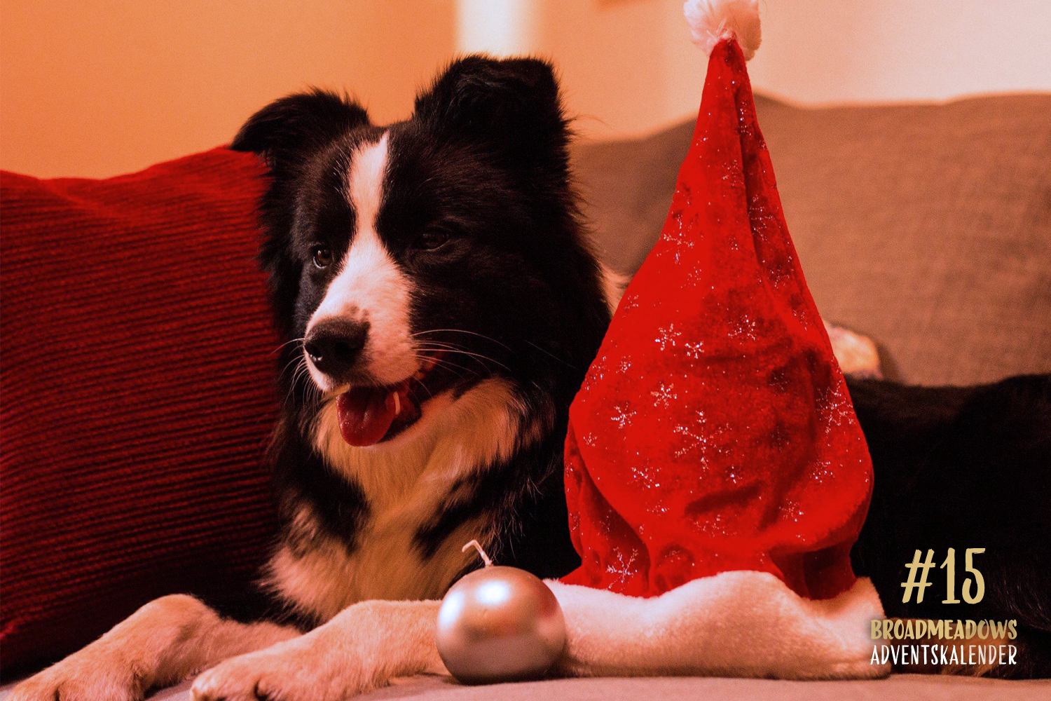 Broadmeadows Border Collies Adventskalender – No. 15: »Crazy« (Broadmeadows Crazy in Love)