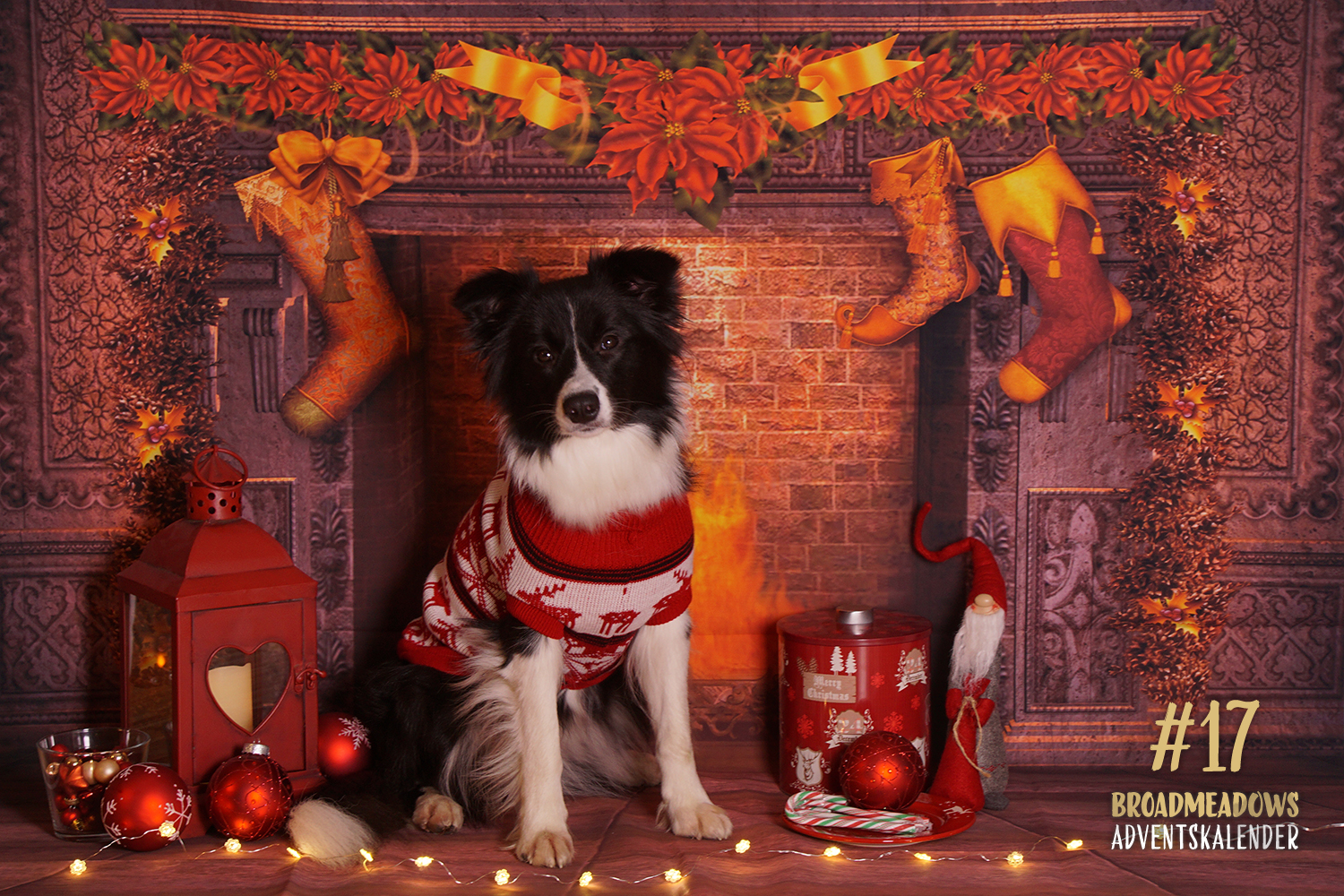 Broadmeadows Border Collies Adventskalender – No. 17: »Ellie« (Broadmeadows Celebrity Skin)