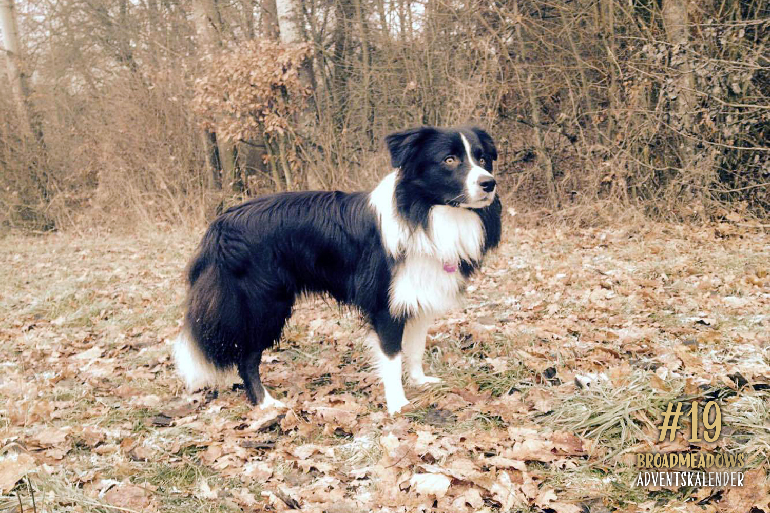 Broadmeadows Border Collies Adventskalender – No. 19: »Zeppo« (Broadmeadows David Bowie)
