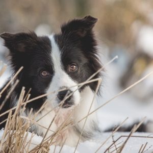 Border Collie Ida