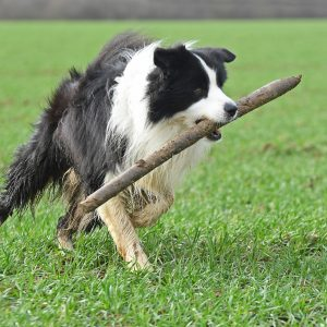 Border Collie Joey im Marienfeld