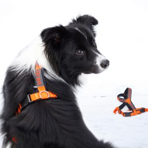 Border Collie Bran mit Geschirr