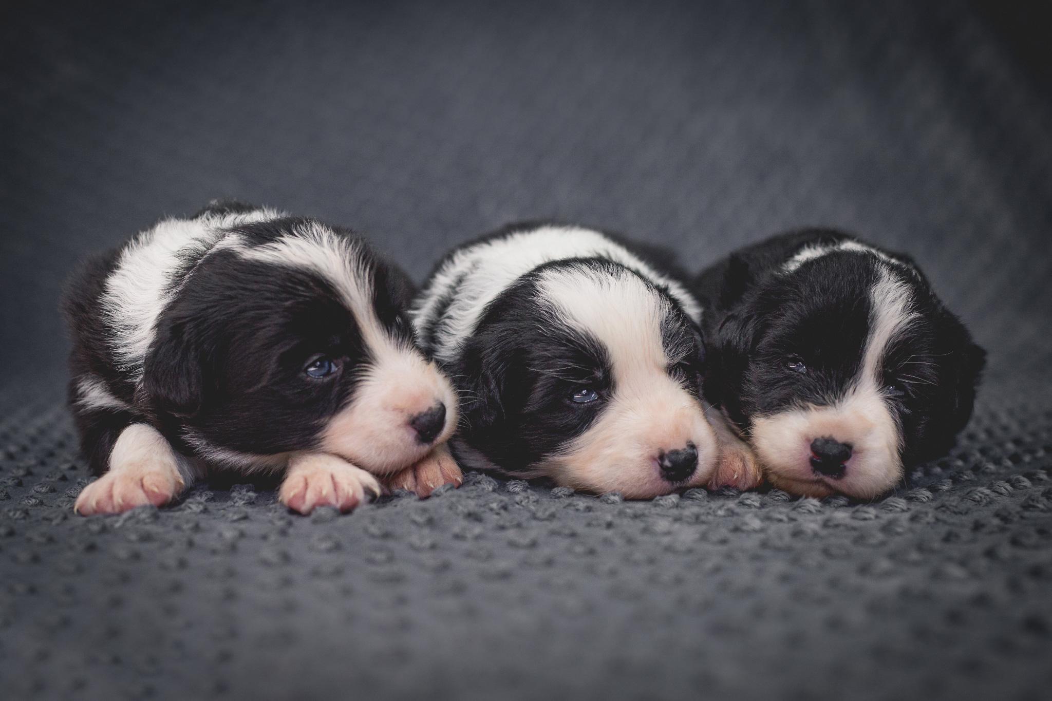 12|03|2017 – Drei Wochen alt: unsere drei Border Collie Hündinnen