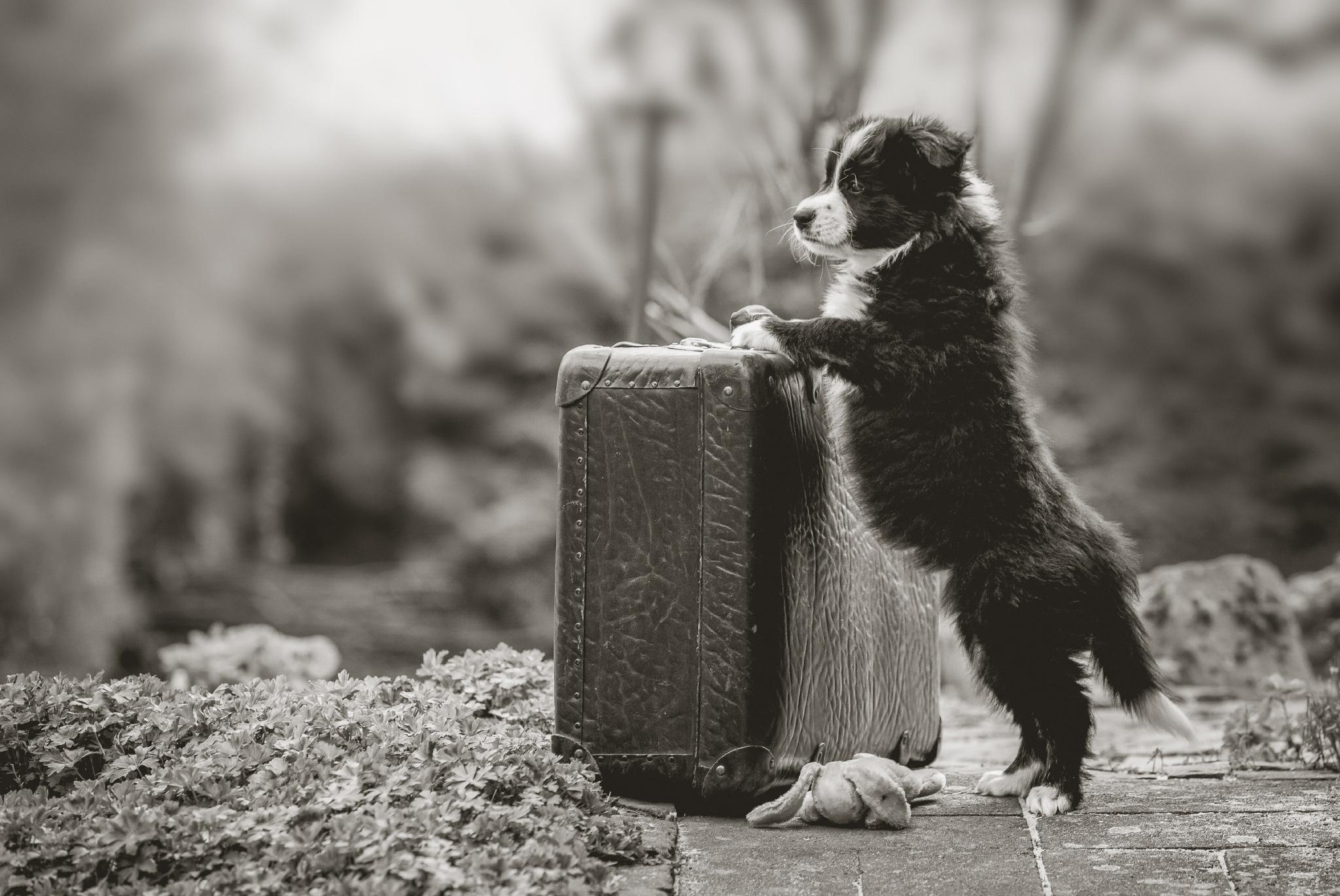 Die Koffer sind gepackt: unsere Border Collie Welpen sind acht Wochen alt
