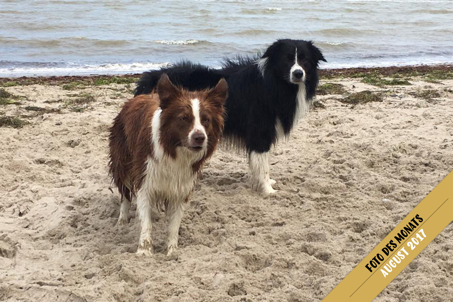 Foto des Monats: Edda und Bounty (Broadmeadows Almost Rosey/Dressed for Success) am Ostsee-Strand