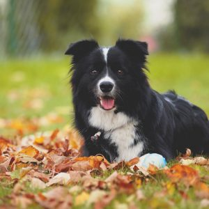 Border Collie Zoe