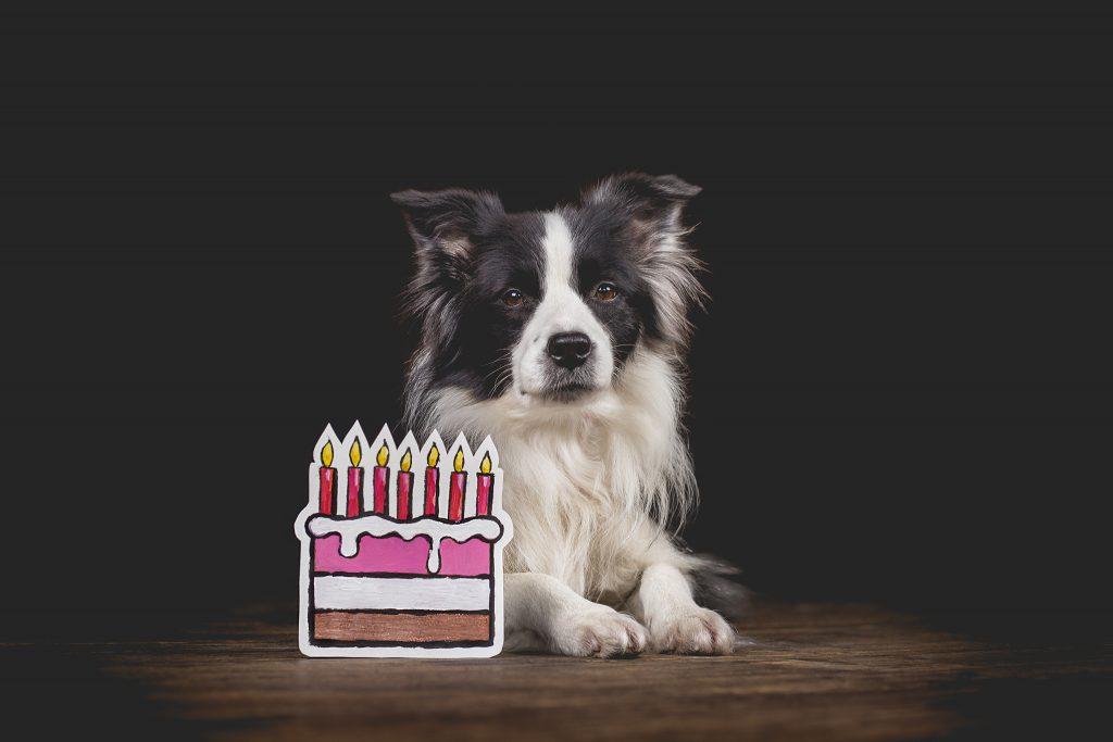 Border Collie Hündin Ida feiert ihren siebten Geburtstag