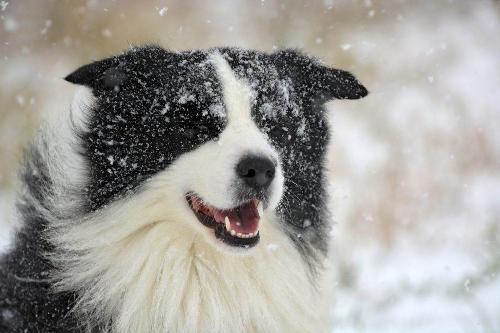 Border Collie Joey im Schnee
