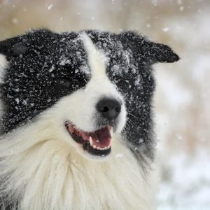 Border Collie Joey im Schnee
