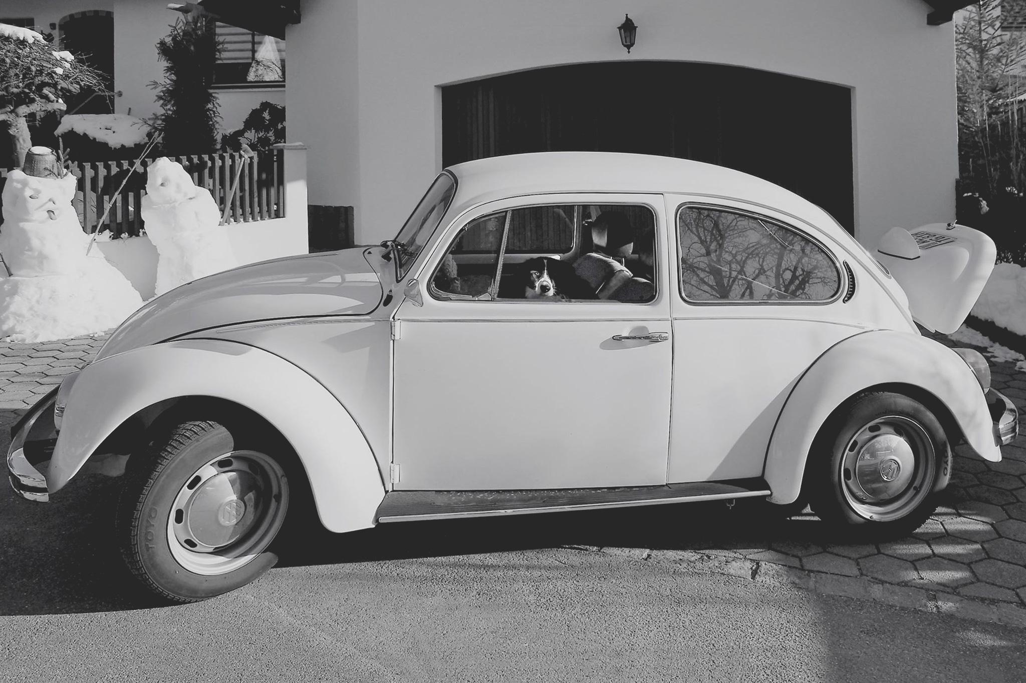 Border Collie Hündin Ella in einem VW Käfer