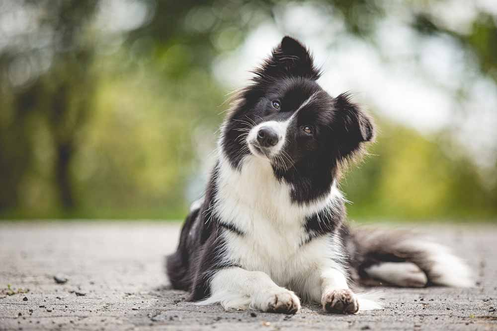 Border Collie Hündin Ellie