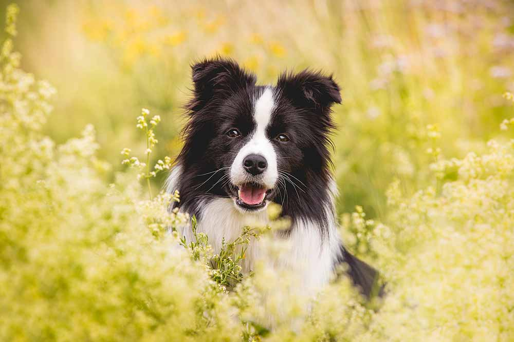 Border Collie Hündin Heidi
