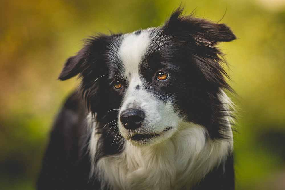 Border Collie Hündin Nell