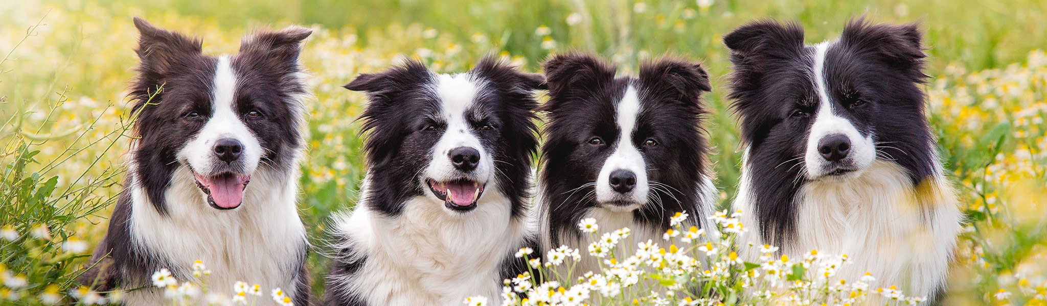 Vier Border Collies im Portrait