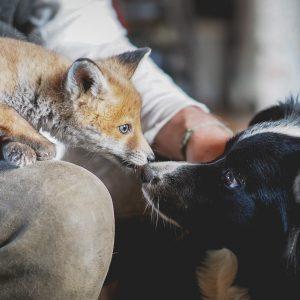 Border Collie Hündin Zoe und ein Fuchsjunges