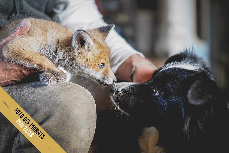 Foto des Monats: Zoe (Broadmeadows Cheek to Cheek) und das Fuchsjunge