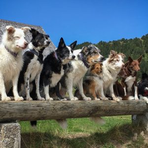 Border Collie Freunde