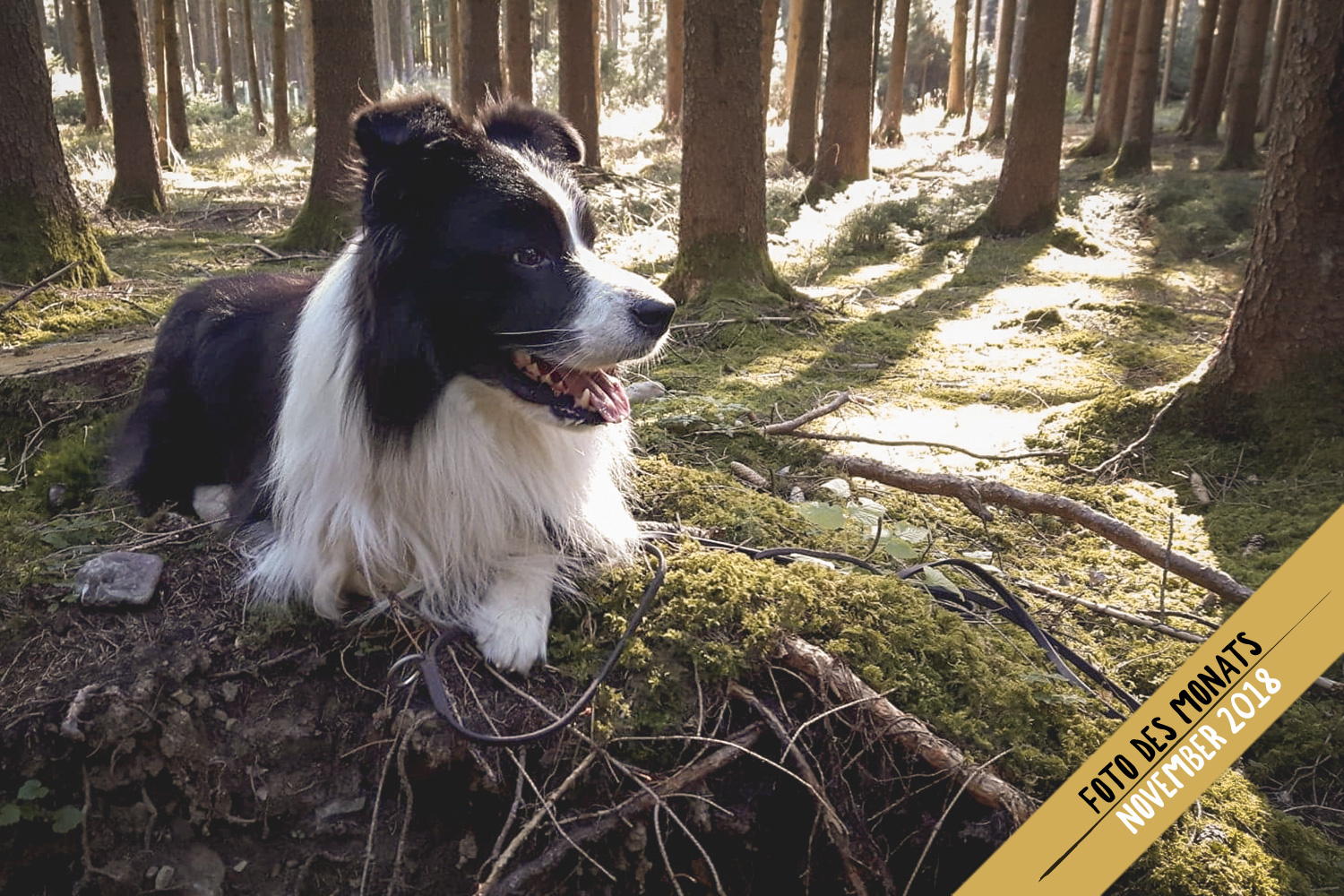 Herbstwald: Buddy (Ch Broadmeadows Body and Soul)