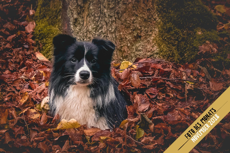 Herbstlaub: Ellie (Ch Broadmeadows Celebrity Skin)