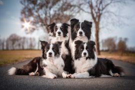 27|12|2018 – Die Border Collies: Ida, Nell, Zion und Heidi