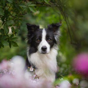 Border Collie Hündin unter einem Rosenbusch