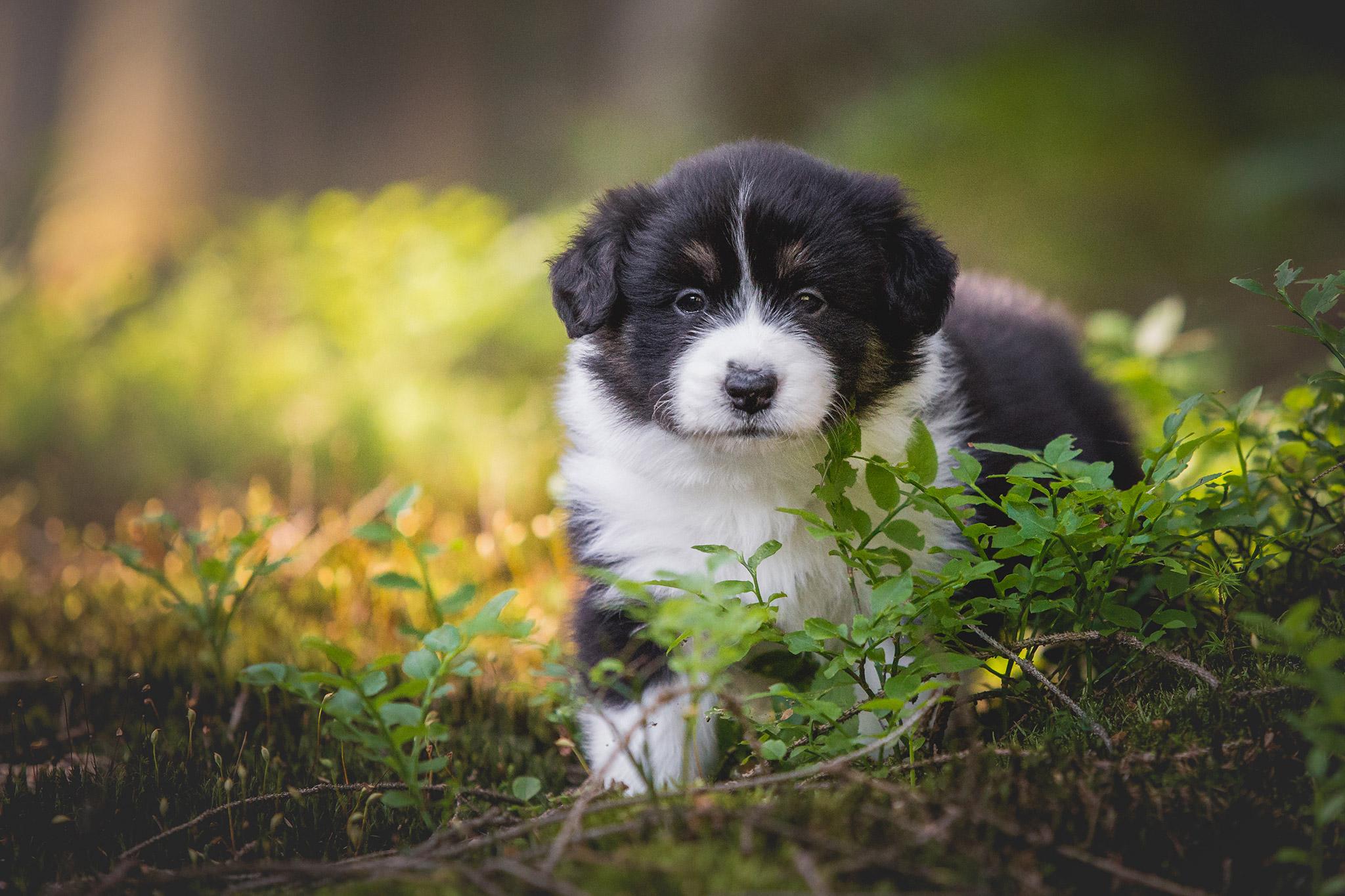 Fünf Wochen alter Border Collie Welpe bei einem Ausflug in den Wald