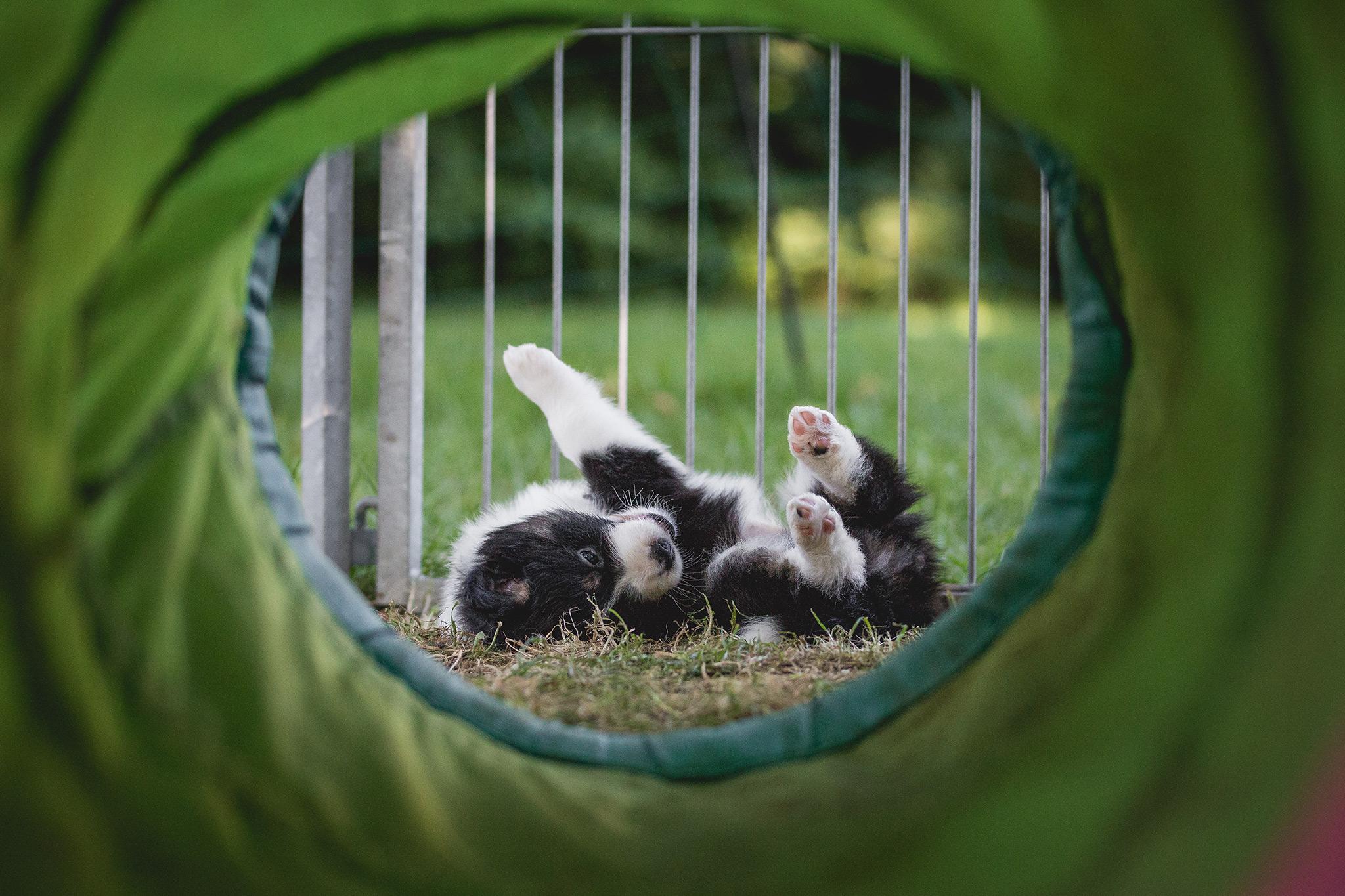 Border Collie Welpe im Welpenauslauf beim Border Collie Züchter