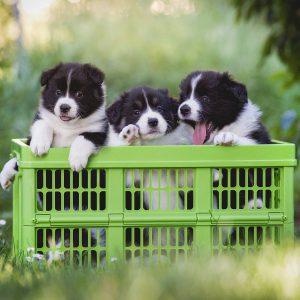 Border Collie Welpen in einer grünen Klappbox