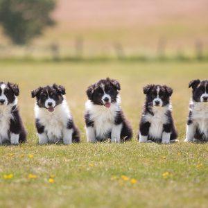 Gruppenfoto von fünf Border Collie Welpen