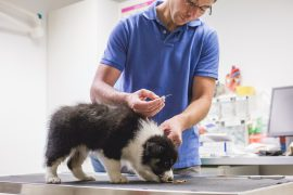 Border Collie Welpe zum Chippen in der Tierärztlichen Gemeinschaftspraxis Ferger und Brantin in Bad Marienberg