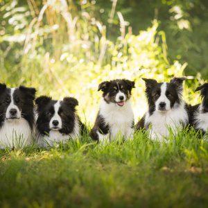 Vier erwachsene Border Collies und ein Border Collie Welpe