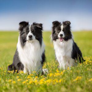 Zwei Border Collies auf einer Sommerwiese