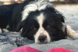 Border Collie am Strand