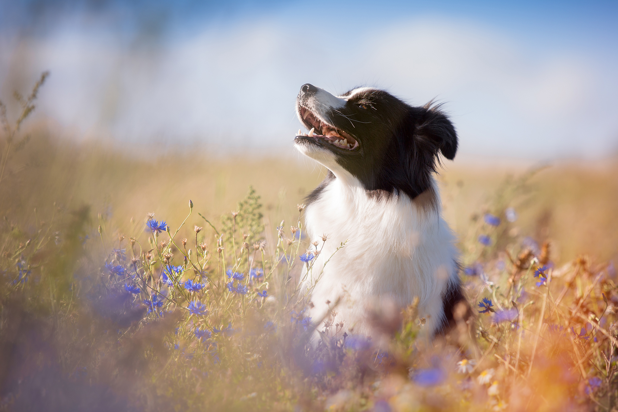 Border Collie Hündin in einem verwilderten Feld mit Kornblumen